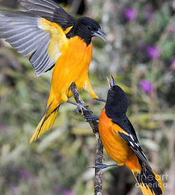 Oriole Photograph - Baltimore Orioles by Anthony Mercieca