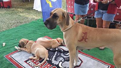 Universities Photograph - Bama Great Dane by Kenny Glover