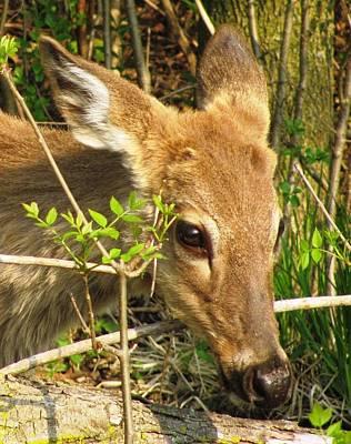 Photograph - Bambi by Arielle Cunnea