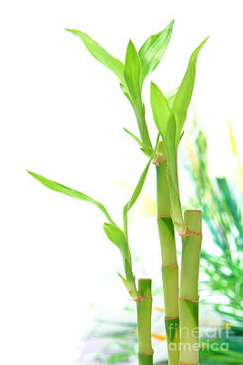 Bamboo Stems And Leaves Print by Olivier Le Queinec
