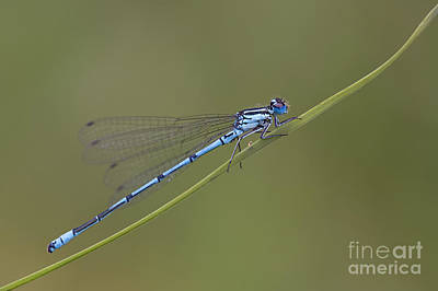 Demoiselles Photograph - Banded Agrion Damselfly by Frank Derer