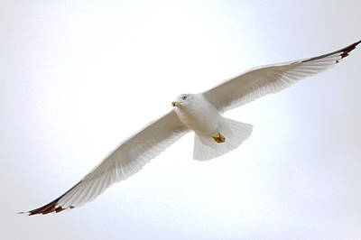Larus Delawarensis Photograph - Banking Right Turn by Roy Williams