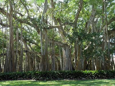 Banyan Tree Print by Kay Gilley