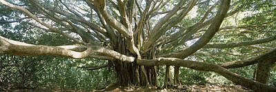 Banyan Tree Photograph - Banyan Tree Stretches In All by Panoramic Images
