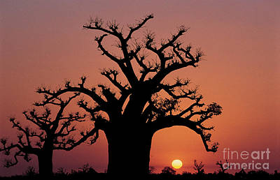 Senegal Photograph - Baobab Tree Against Red Sky by Adam Sylvester