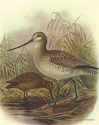 Chatham Painting - Bar Tailed Godwit And Chatham Island Snipe by J G Keulemans