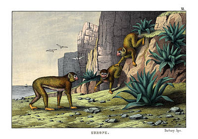 Ape Drawing - Barbary Ape by Splendid Art Prints