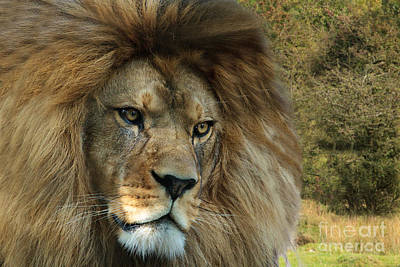 Pete Reynolds Photograph - Barbary Lion by Pete Reynolds