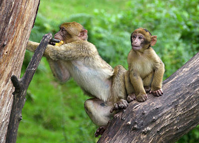 Ape Photograph - Barbary Macaques by Nigel Downer