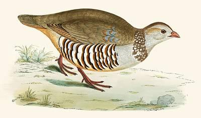 Barbary Partridge Print by Beverley R. Morris