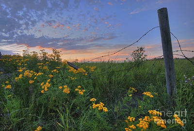 Barbed Wire And Common Tansy Print by Dan Jurak