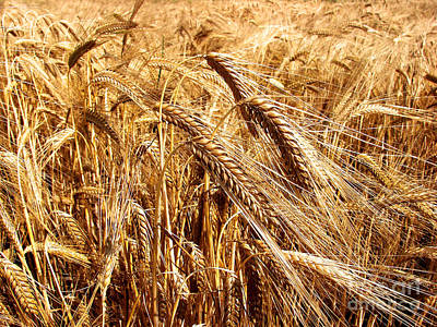 Barley Field Print by Dan Radi