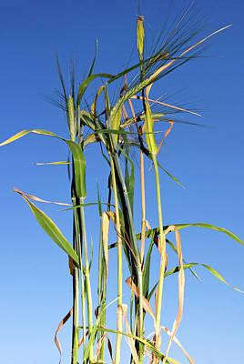 Harvest Time Photograph - Barley (hordeum Vulgare by Nico Tondini