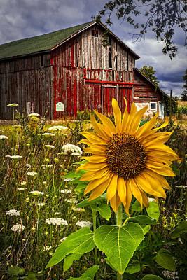 Sunflower Field Photograph - Barn Meadow Flowers by Debra and Dave Vanderlaan