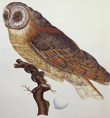 Owl Drawing - Barn Owl by Dutch School