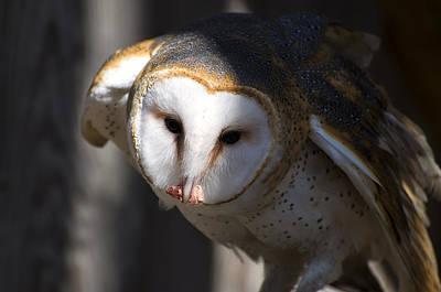 Barn Owl Eating 2 Print by Chris Flees