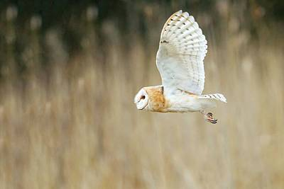 Owl In Flight Photograph - Barn Owl by John Devries