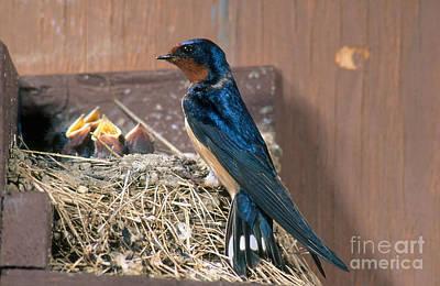Barn Swallow At Nest Print by Anthony Mercieca