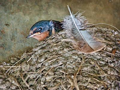 Barn Swallow Fledgling - Baby Bird In Nest Print by Nikolyn McDonald