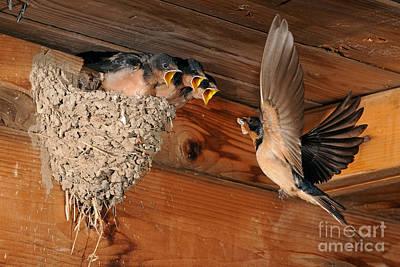 Swallow Chicks Photograph - Barn Swallow Nest by Scott Linstead