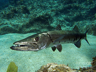 Aqua Blue Photograph - Barracuda by Carey Chen