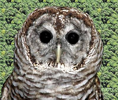 Owl Photograph - Barred Owl 1 by Rose Santuci-Sofranko