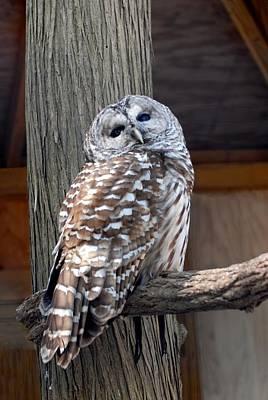 Barred Owl 264 Print by Joyce StJames