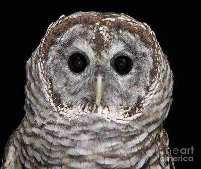 Barred Owl 3 Print by Rose Santuci-Sofranko