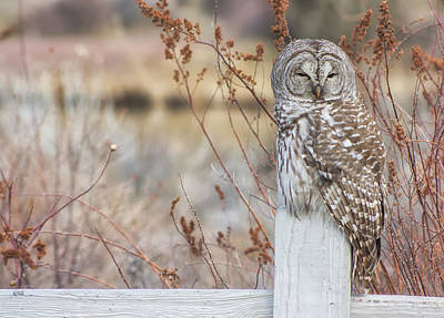 Barred Owl In Bend Print by Jaime Weatherford