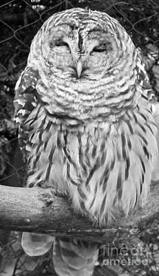 Barred Owl In Black And White Print by John Telfer