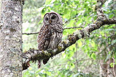 Owls Photograph - Barred Owl by Peggy Collins