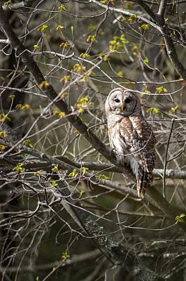 Barred Owl Portrait Print by Bill Wakeley