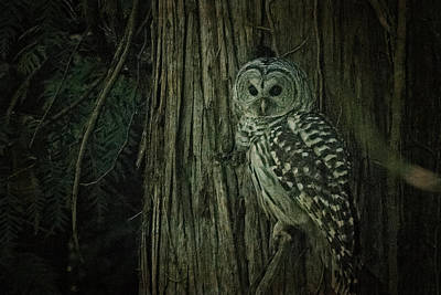 Photograph - Barred Owl by R J Ruppenthal