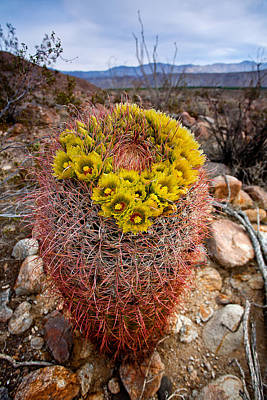 Barrel Cactus Photograph - Barrel Cactus Blooms by Peter Tellone