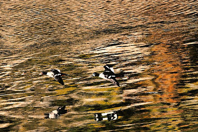 Two Ducks In Flight Photograph - Barrow's Goldeneyes Over The Ocean by Peggy Collins