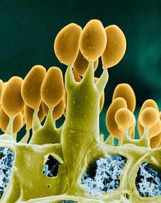Basidiomycota Sem Print by Biophoto Associates