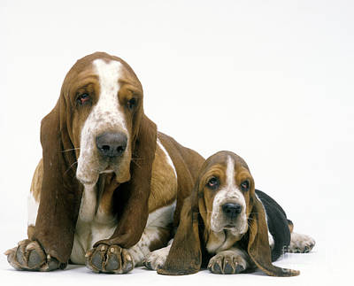 Basset Hound Dogs Print by Jean-Michel Labat