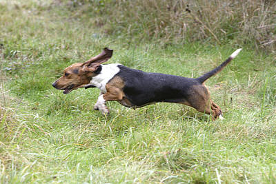 Rabbit Hunting Photograph - Basset Hound Hunting by M. Watson