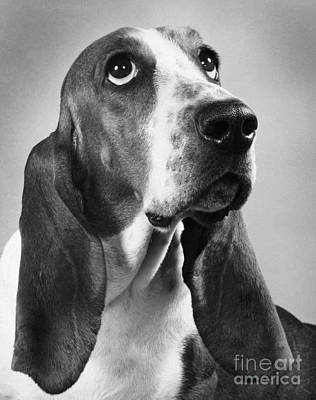 Basset Hound Print by M E Browning