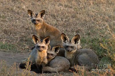 Bat-eared Foxes Print by Chris Scroggins