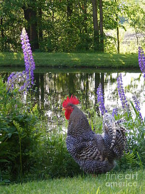 Bb The Rooster And Lupine Print by Susan Russo