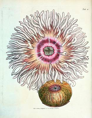 Anthozoa Photograph - Beadlet Anemone by General Research Division/new York Public Library