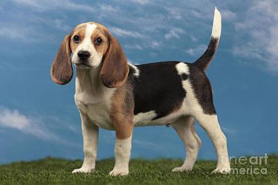 Beagle Puppy Dog Print by Jean-Michel Labat