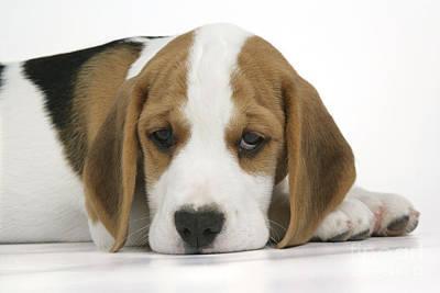 Beagle Puppy Dog Print by John Daniels