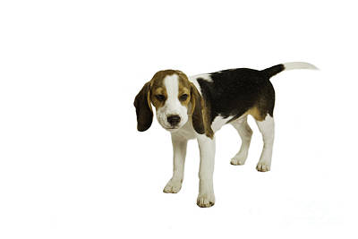 Beagle Puppy Print by Lesley Rigg
