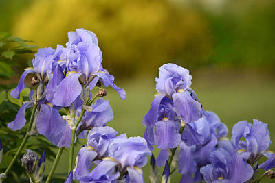 Iris Photograph - Bearded Iris by Ann Bridges