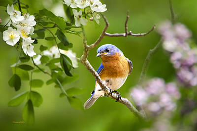Bluebird Photograph - Beautiful Bluebird by Christina Rollo