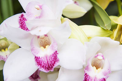 Beautiful Cattleya White Orchids Print by Daphne Sampson