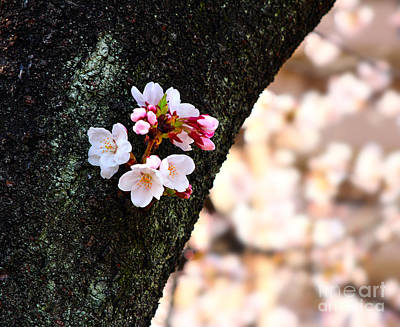 Beautiful Cherry Blossoms Blooming From Tree Trunk Print by Beverly Claire Kaiya