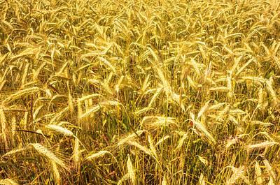 Field Of Crops Photograph - Beautiful Golden Cornfield by Matthias Hauser